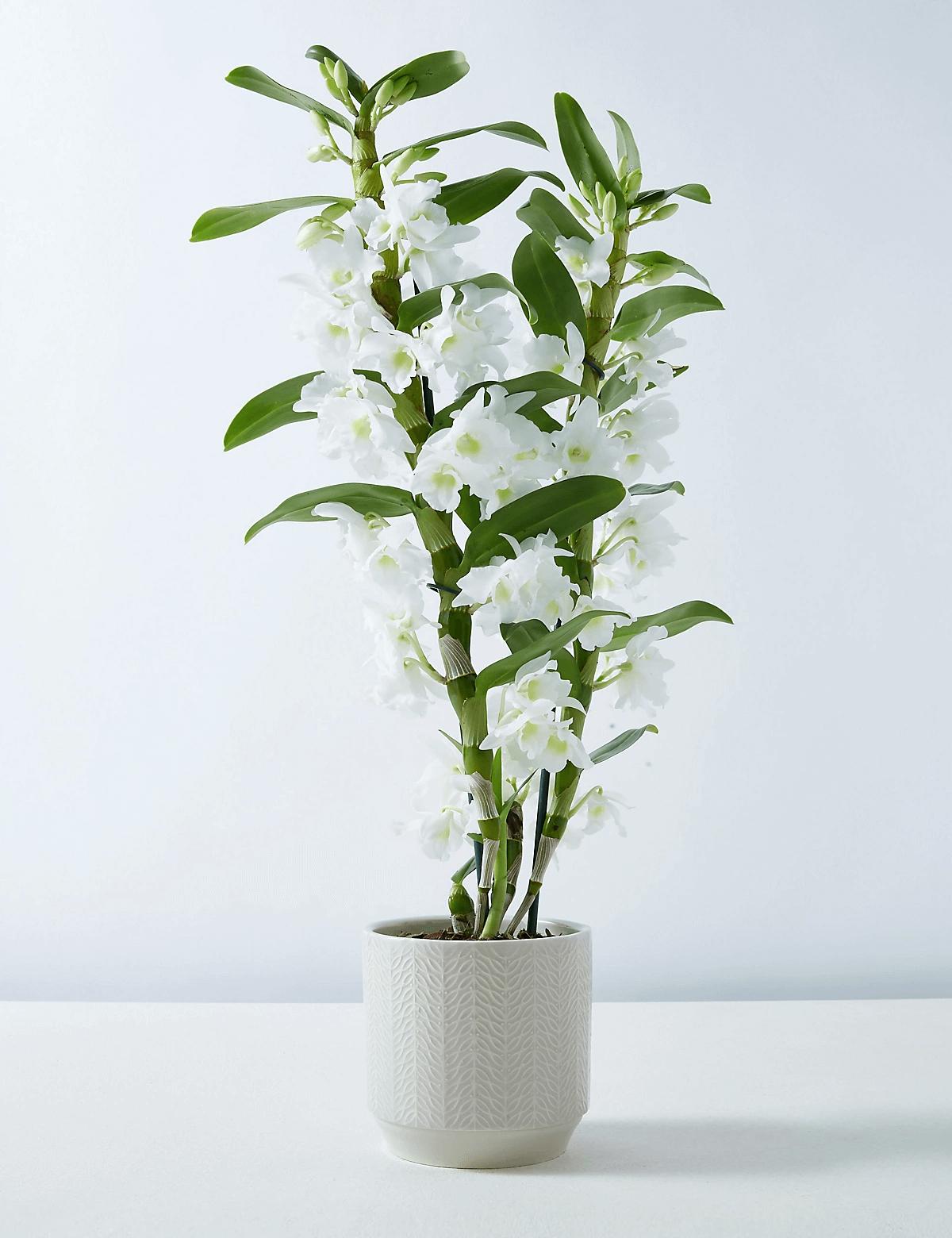 Orquídea Dendrobium