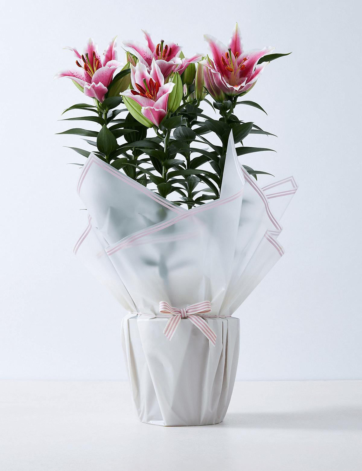 Lírio Rosa Oriental